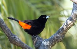 Cherrie`s Tanager Ramphocelus costaricensis Panama. Close up of a colorful black and orange songbird perching on a branch in Boquete, Chiriqui Province Stock Images