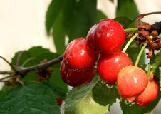 Cherries. Here are some cherries in a tree. Are not very red Stock Photos