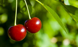 Cherries. A pair of cherries at the cherry-tree royalty free stock photography
