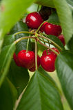 Cherries. Red and sweet cheries on a branch before harvest in early summer Royalty Free Stock Photo