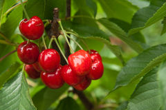 Cherries. Red and sweet cheries on a branch before harvest in early summer Stock Photo
