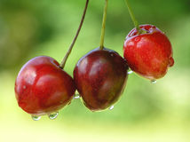 Cherries. With drops and green blurred background royalty free stock images
