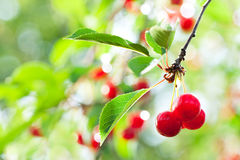 Cherries. Bunch of cherries on the tree, leaves on background Stock Photo