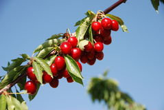 Cherries. Inviting cherries outnumbering leaves at Xyliatos, Cyprus Royalty Free Stock Photos