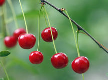 Cherries. Twig of cherry-tree with red cherries Royalty Free Stock Image