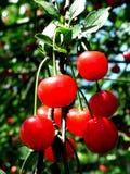 Cherries. Digital photo of cherries Royalty Free Stock Photo