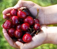 Cherries. A hand full of cherries Royalty Free Stock Photography