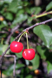 Cherries. Two red ripe cherries hanging on the tree royalty free stock photography