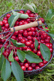 Cherries in basket Stock Image