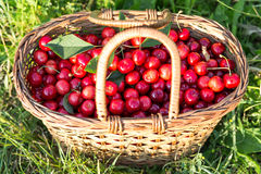 Cherries in a basket. Freshly picked cherries in a basket Royalty Free Stock Photography