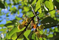 Cherries beginning to ripening in early summer Stock Image