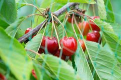 Cherries behind bird net Royalty Free Stock Photography
