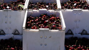 Cherries in bins Royalty Free Stock Photos