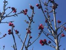 Cherries blossom Stock Image