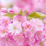 Cherries blossom tree stock images