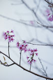 Cherries blossoms Royalty Free Stock Image
