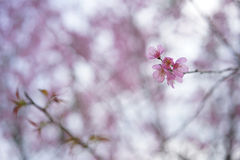 Cherries blossoms Stock Images