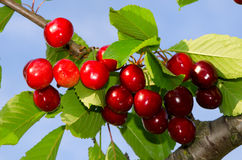 Cherries on a branch Stock Photography