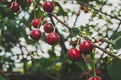Cherries on branch Royalty Free Stock Photos