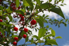 Cherries. On a branch against the sky Royalty Free Stock Image