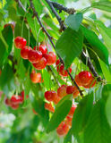 Cherries on a branch Stock Photos