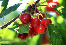 Cherries on branch Royalty Free Stock Photography