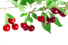Cherries on a branch Stock Image