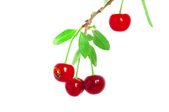 Cherries on a branch with ladybug Royalty Free Stock Image