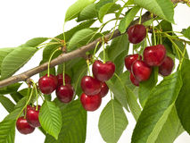Cherries on the branch of a large Royalty Free Stock Photos
