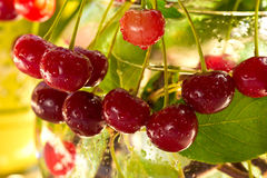 Cherries on the branch after the rain Royalty Free Stock Photo