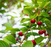 Cherries on a branch Royalty Free Stock Photo
