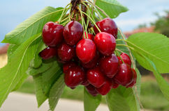Cherries on a branch 2. Red and sweet cherries on a branch just before harvest in spring against blue and white bokeh Stock Images