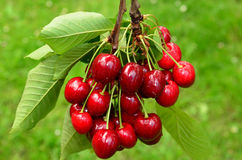 Cherries on a branch 1. Red and sweet cherries on a branch just before harvest in spring against green gras bokeh Royalty Free Stock Images