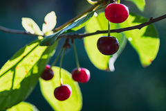 Cherries on a branch. Ripe red cherries on a branch in the garden Royalty Free Stock Image