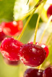 Cherries on the branch. Selective focus Royalty Free Stock Images