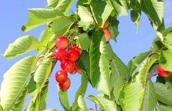Cherries on the branch Stock Photo