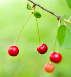 Cherries on the branch Royalty Free Stock Photo