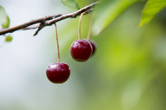 Cherries on the branch Stock Photos