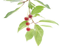 Cherries on a branch. Royalty Free Stock Image