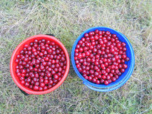 Cherries are in buckets Royalty Free Stock Image