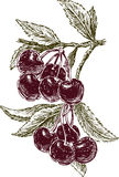Cherries bunches on a branch Stock Photo