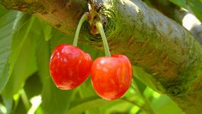 Cherries, Cherry, Red Royalty Free Stock Image