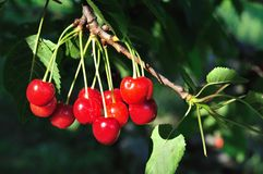 Cherries on a cherry tree branch Royalty Free Stock Photos