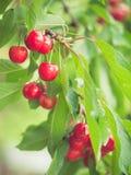 Cherries on cherry tree Stock Image