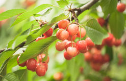 Cherries on cherry tree Royalty Free Stock Images