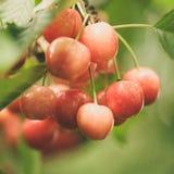 Cherries on cherry tree Royalty Free Stock Photo