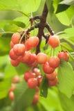 Cherries on cherry tree Stock Photography