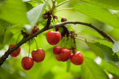 Cherries on cherry tree Stock Photos