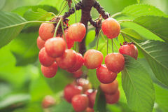 Cherries on cherry tree Stock Photos