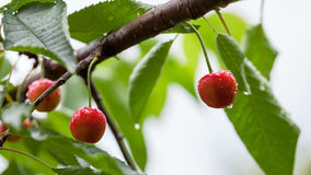 Cherries in the cherry tree Royalty Free Stock Image